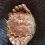 蟹ビギナーによる産直毛ガニ実食レポート